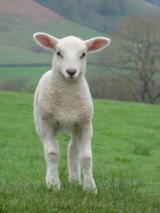 rêver d'agneau.