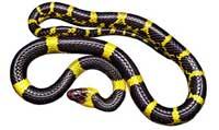 Rêver de Serpent jaune et noir en islam.