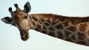 rever-de-girafe