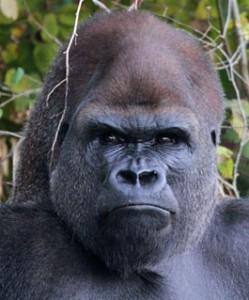 rêver de gorille signification