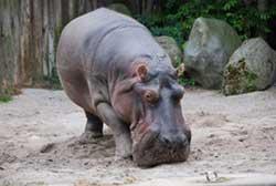 rever-de-hippopotame