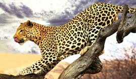 rever-de-leopard
