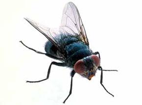 R ver de mouche en islam - Invasion de mouches pourquoi ...