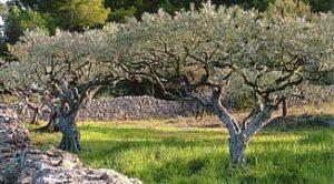 rever-de-oliveraie