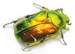rever-de-scarabee