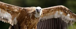 rever-de vautour