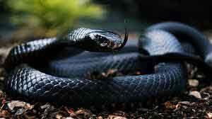 rêver de serpent noir