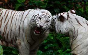 rêver de tigre blanc signification.